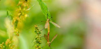 Zanzare a novembre riproduzione