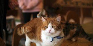 gatto napoleone: caratteristiche.