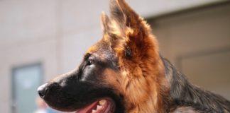 Migliori cani da guardia: Pastore tedesco.