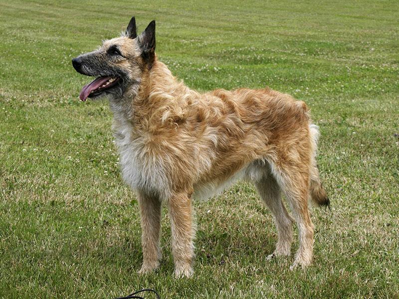 cane da pastore belga Laekenois
