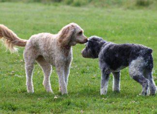 Come presentare il tuo cane ad altri cani