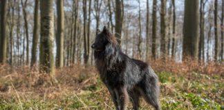 Pastore BelgaGroenendael Informazioni carattere cuccioli
