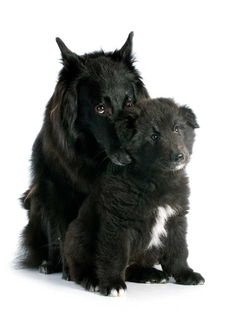 Pastore Groenendael salute e cuccioli