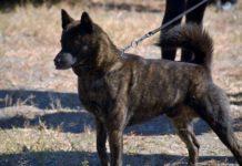 kai ken razza cane giapponese