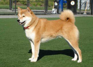 razza cane giapponese hokkaido caratteristiche